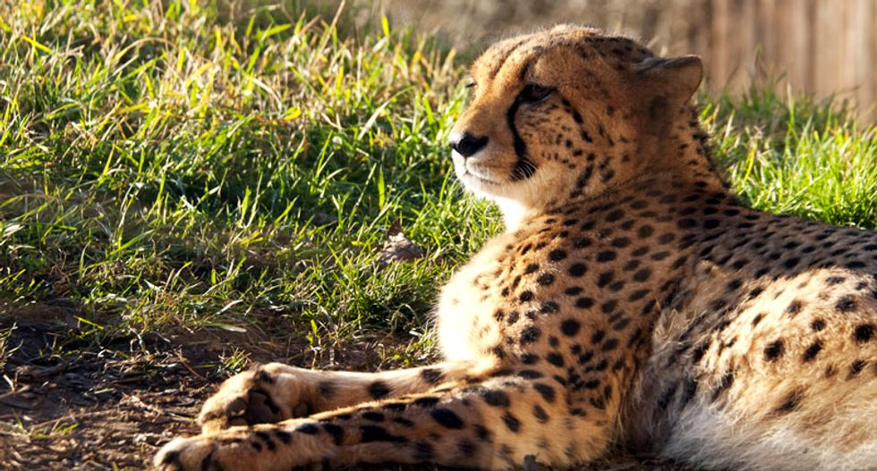 Mother charged for dropping boy in Ohio zoo cheetah enclosure
