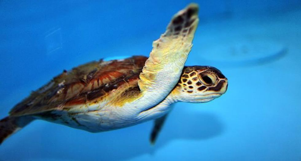 US government sued over sea turtles snared in shrimp nets