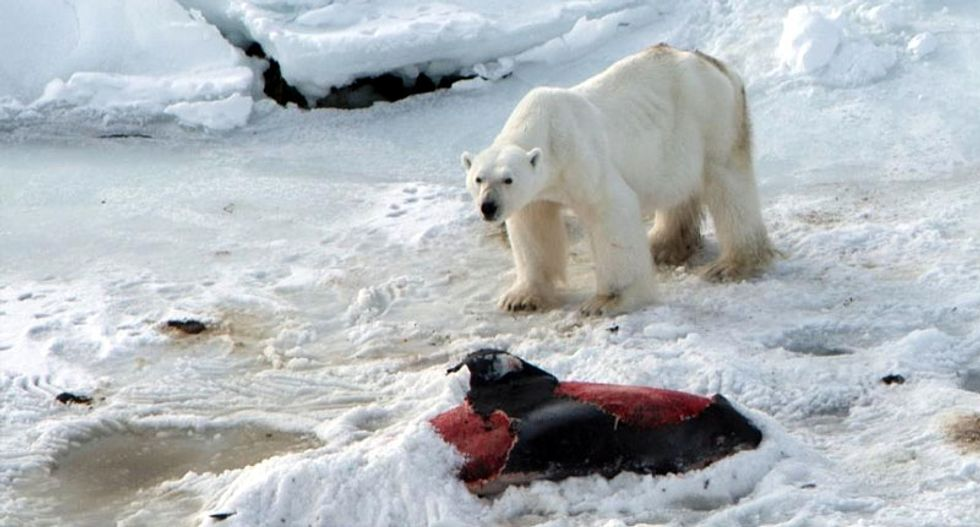 Polar bears develop taste for dolphins as Arctic warms