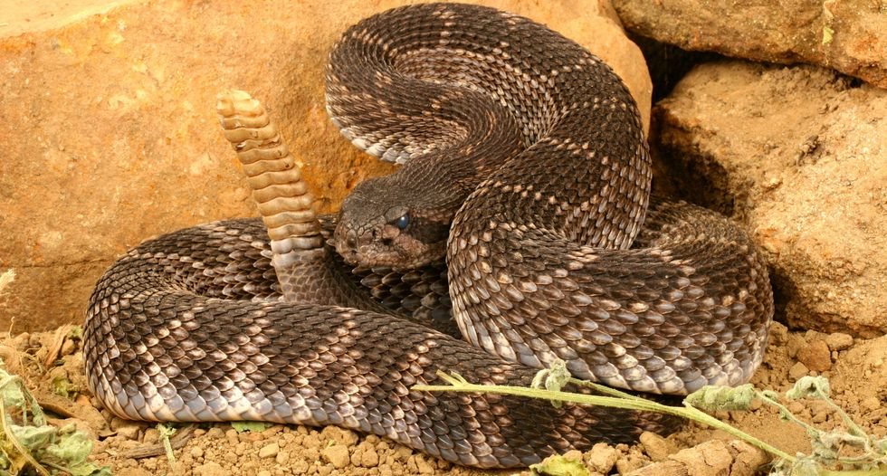 California man could lose hand after posing for photo with rattlesnake