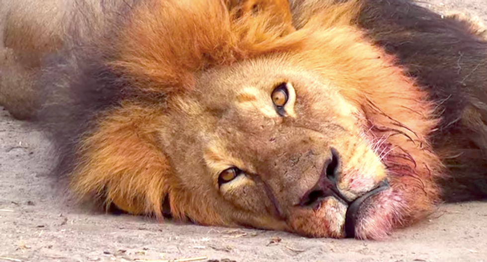 Zimbabwe will not charge US dentist for killing Cecil the lion