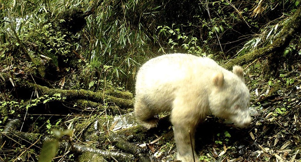 Rare albino panda caught on camera in China: state media report