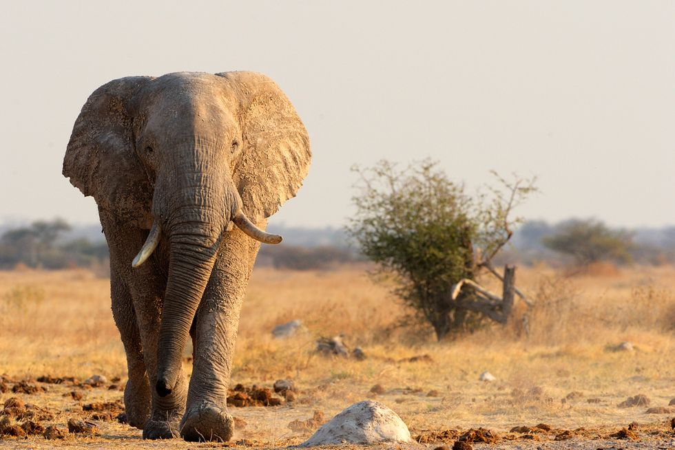 Here's what elephants' unique brain structures suggest about their mental abilities