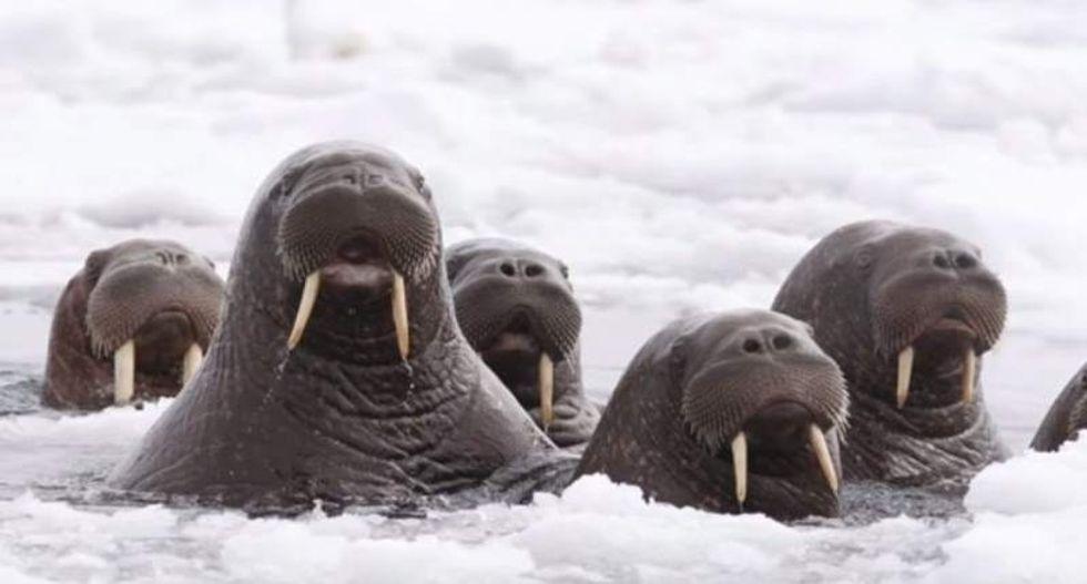 Thousands of walruses wash ashore as global warming devastates Alaskan Arctic