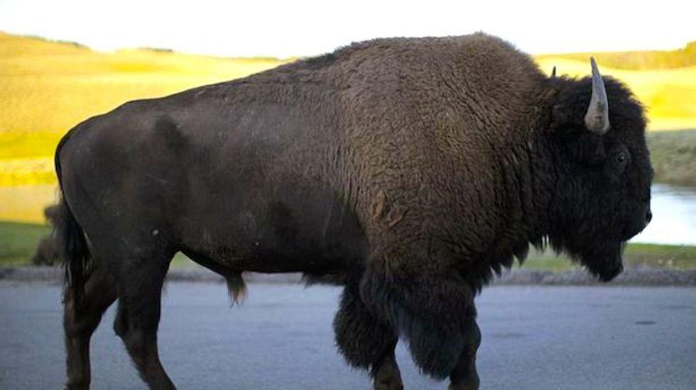 Bison gores man working on picturesque California island