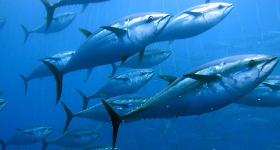 Tuna and mackerel populations worldwide down a 'catastrophic' 74 percent: report