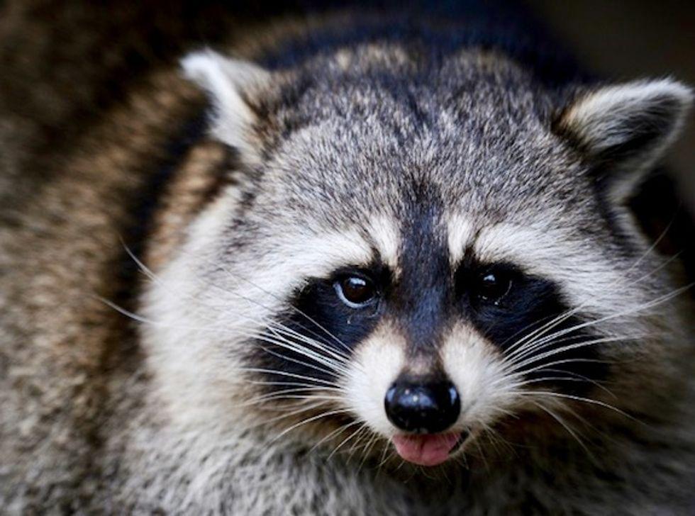 Zombie raccoons' bizarre behavior gets locals' attention in US