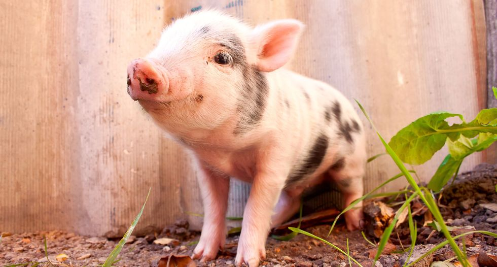 First human-pig chimeras created, sparking hopes for transplantable organs - and debate