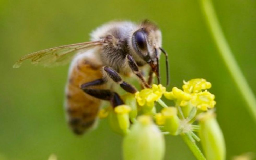 USDA indefinitely suspends honey bee tracking survey as states get approval to use bee-killing pesticide