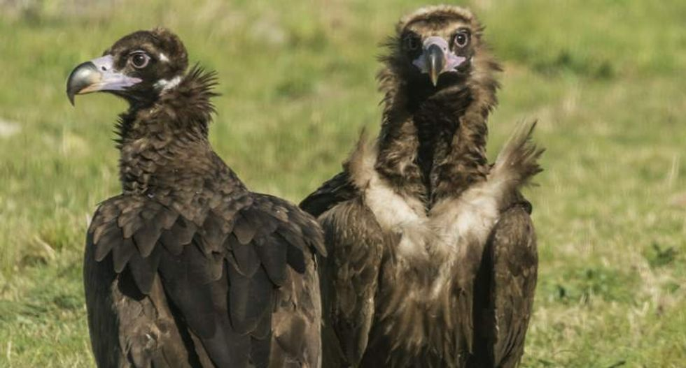 Genetic secret behind black vultures' extra-tough stomachs discovered by researchers