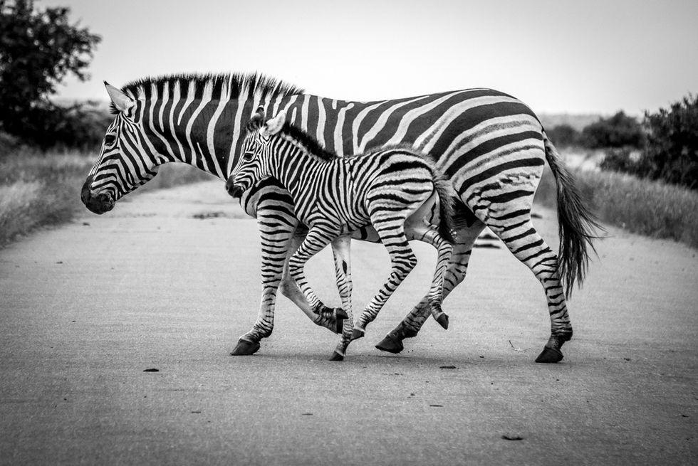 Zebras escape circus, roam Philadelphia streets for about an hour