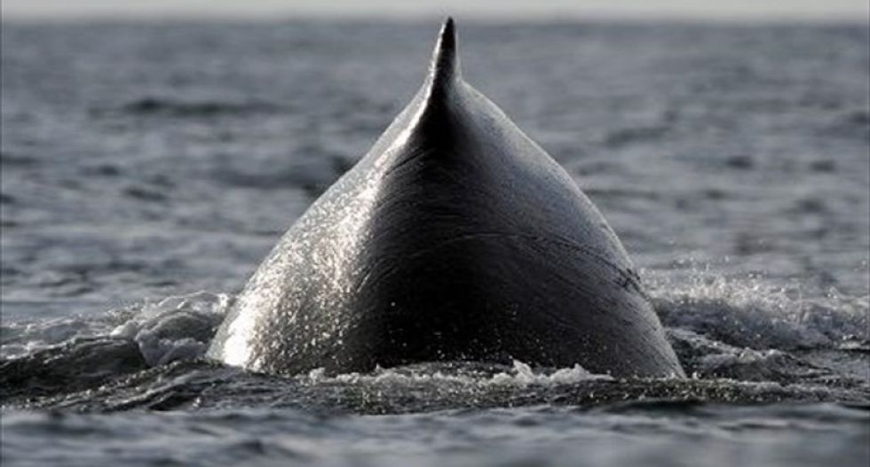 Whales today are bigger than ever before. Now, we know why.