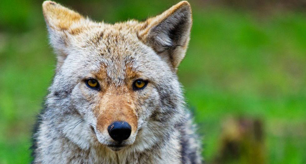 Coyotes tripping on psychedelics could be terrorizing California's posh Marin county