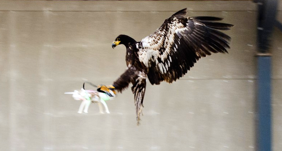 Dutch police train eagles to snatch enemy drones