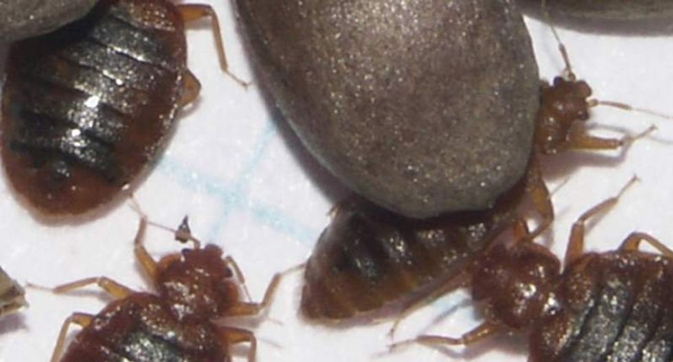 Sleep tight: Unlocking their genomes' secrets could help scientists beat bedbugs' bite