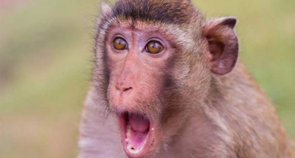 Paralyzed monkeys walk again with wireless 'brain-spine interface'