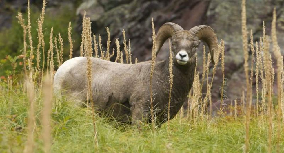Two men charged with killing and beheading protected bighorn sheep in Oregon