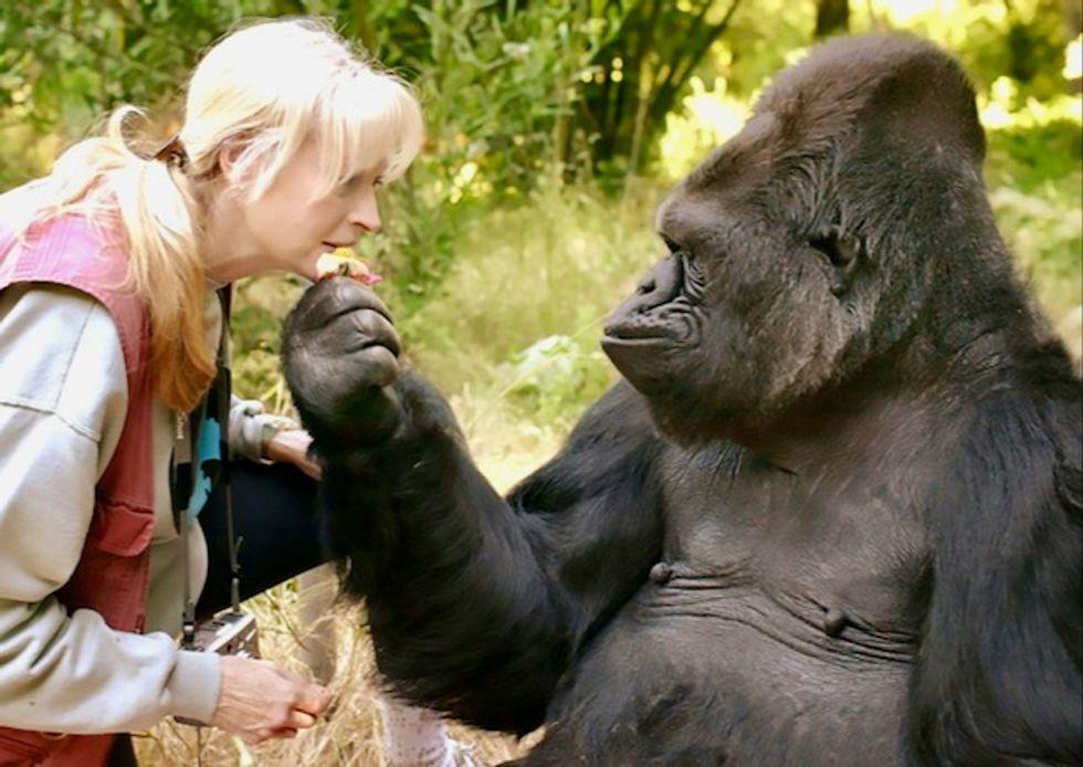 Just like humans, gorillas form 'complex societies'
