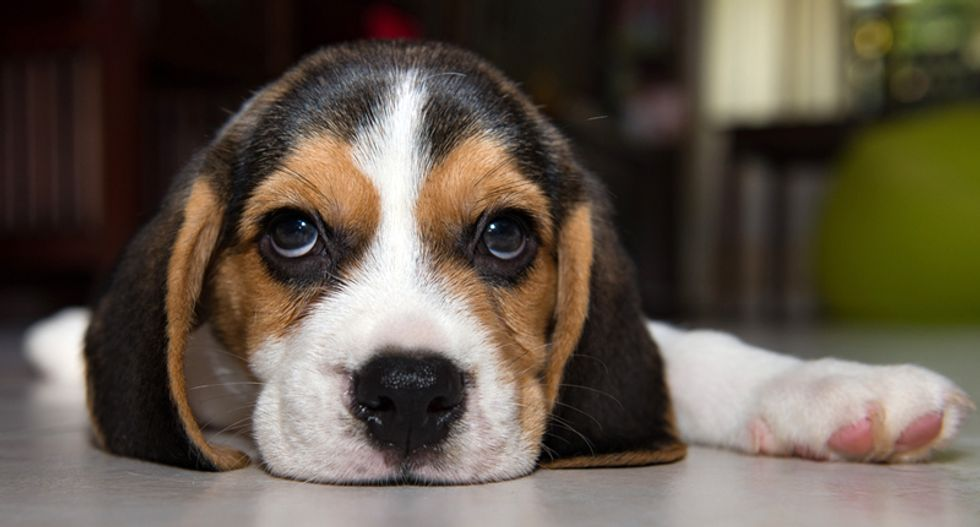 Beagles bred with muscular dystrophy offer 'hope of a human cure'