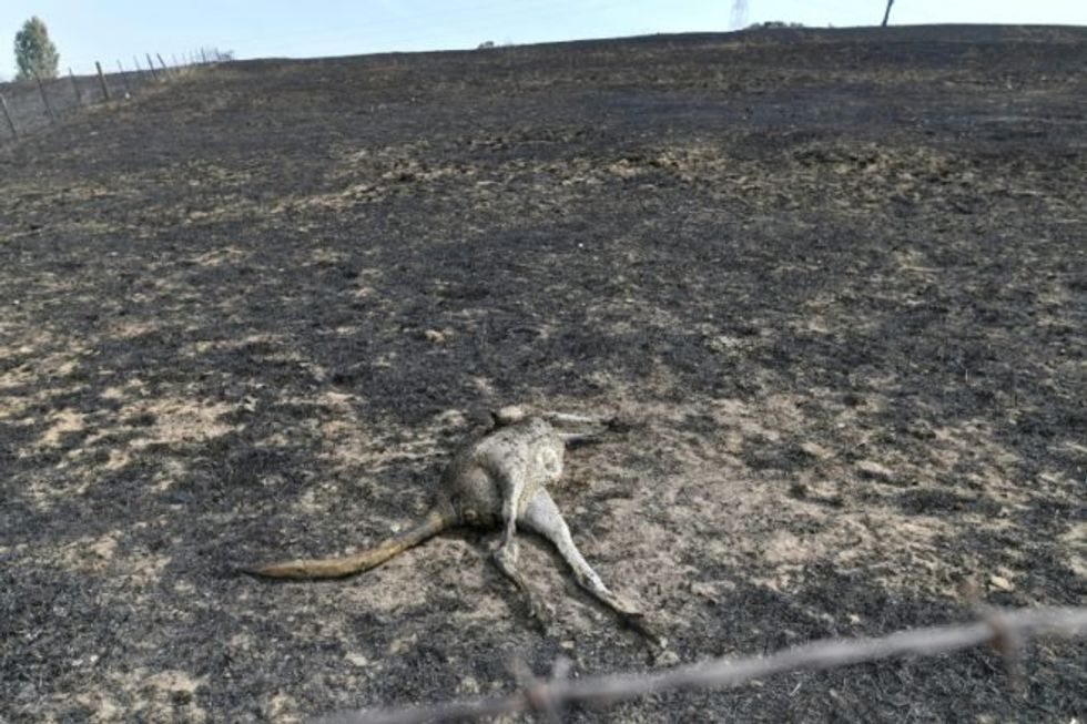 Threatened and endangered species among the animals hard hit by Australia's bushfires