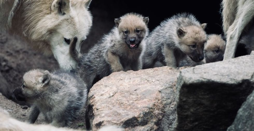 Wolf puppies play fetch, too, scientists find
