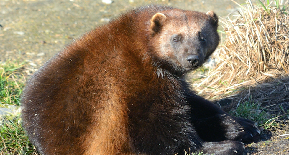 Rancher spots first wolverine in North Dakota in 150 years — so he kills it
