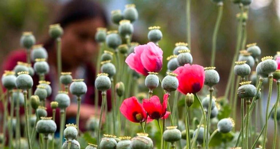 Mexico debates legalizing opium poppy for medicine