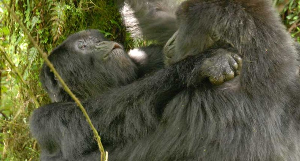 Adorable lesbian gorillas prove that homosexuality is not unnatural