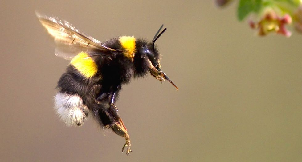 Popular pesticides are killing of bumblebees by preventing them from laying eggs