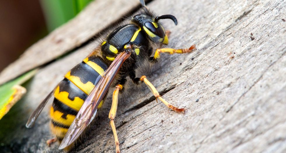 Please don't put ground-up wasp nests in your vagina