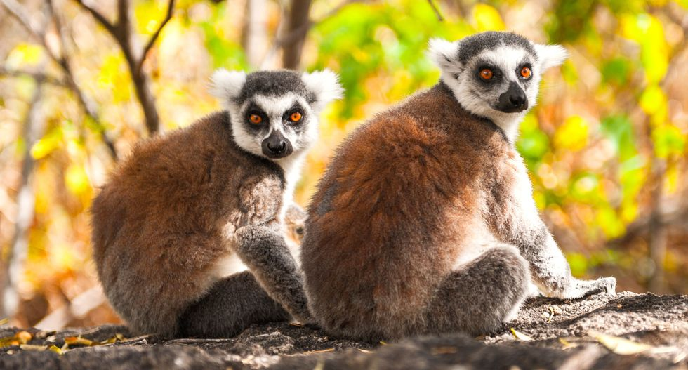 Madagascar's 'swamp lemurs' have been documented for the first time