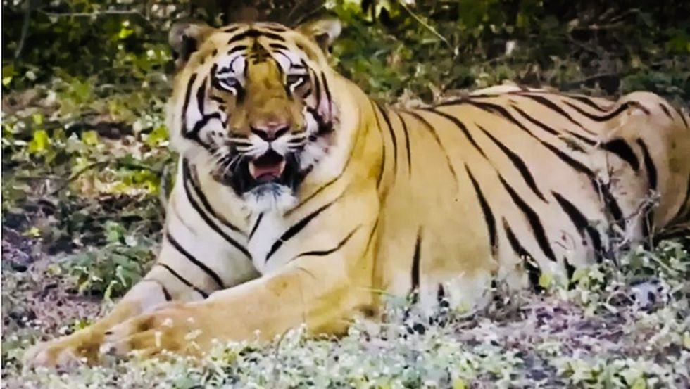 Hunt on for Indian tiger after eighth human kill