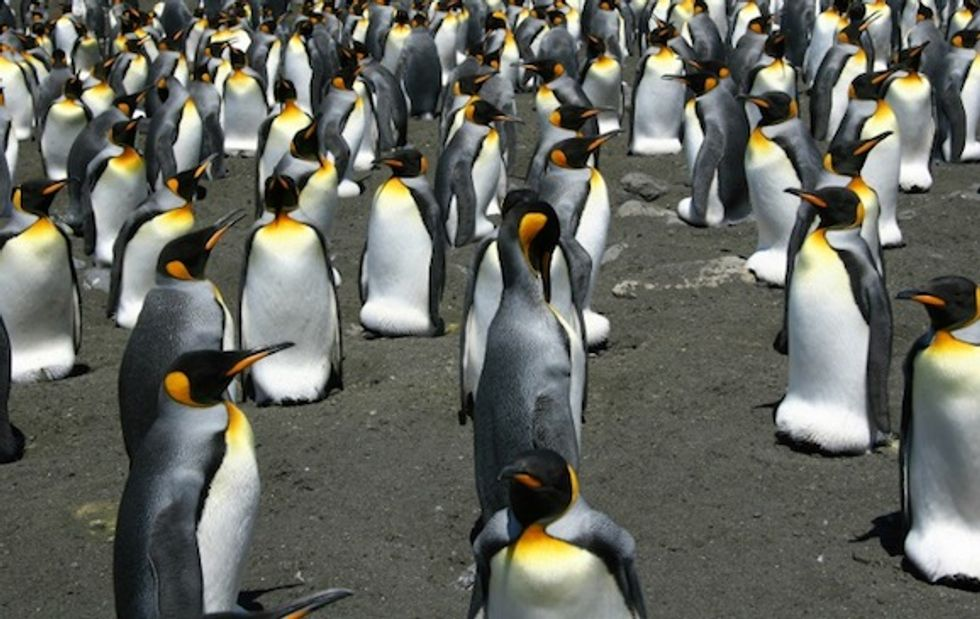 World's biggest king penguin colony shrinks 90 percent