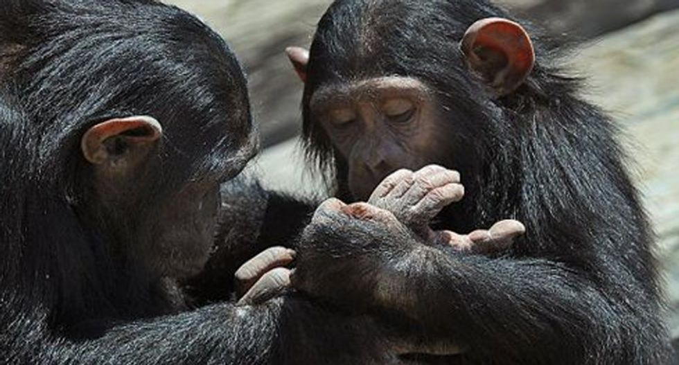 New York appeals court to consider legal personhood for chimps