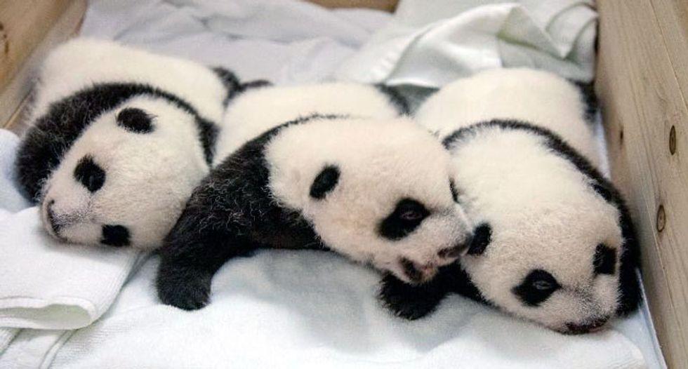 American and Chinese first ladies name newest panda at Washington zoo