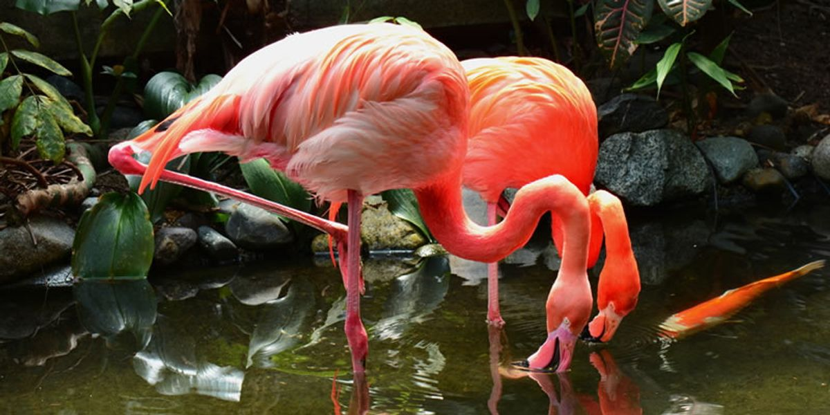 Flamingos poisoned by illegal lead pellets in Greek lagoon - Raw Story