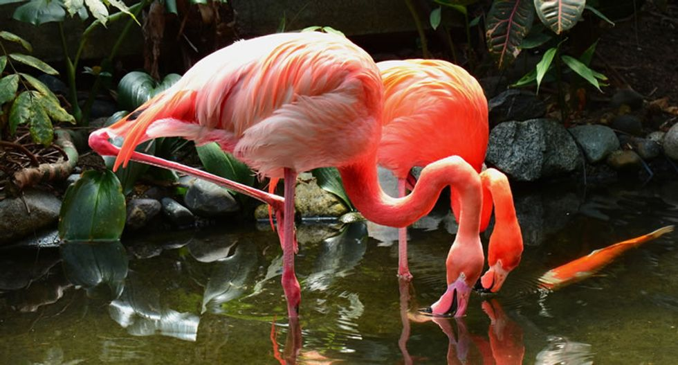French director red-faced after pink flamingo disaster