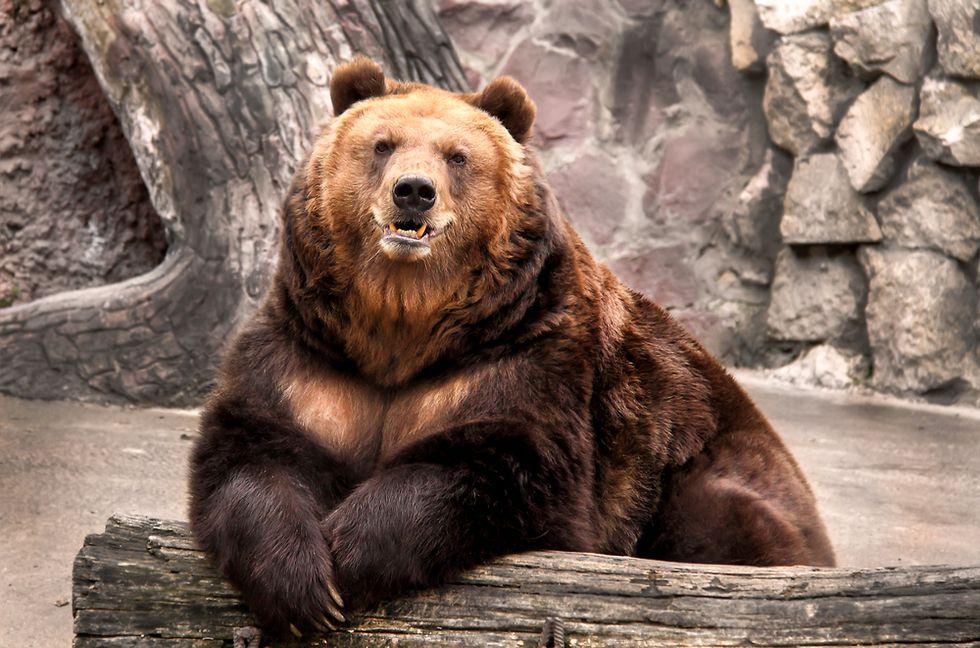 Bear slobber is a 'goldmine' of genetic information
