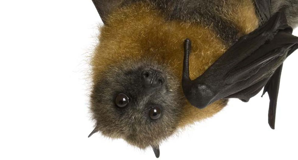 Competitive bats use noises to 'jam' each other's sonar when bug-hunting: scientists
