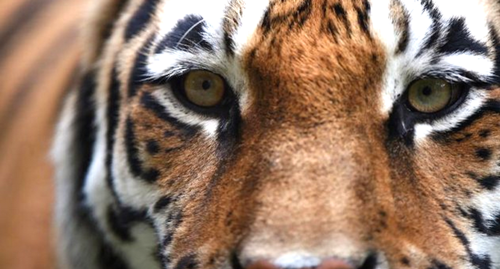 Couple freaks out after sneaking into vacant home to smoke weed -- and finding a tiger inside
