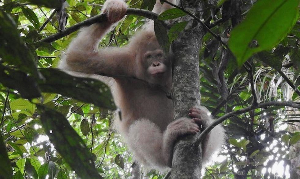The world's only known albino orangutan spotted in Borneo rainforest