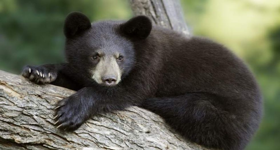 Colorado man faces felony charges for shooting black bear cubs