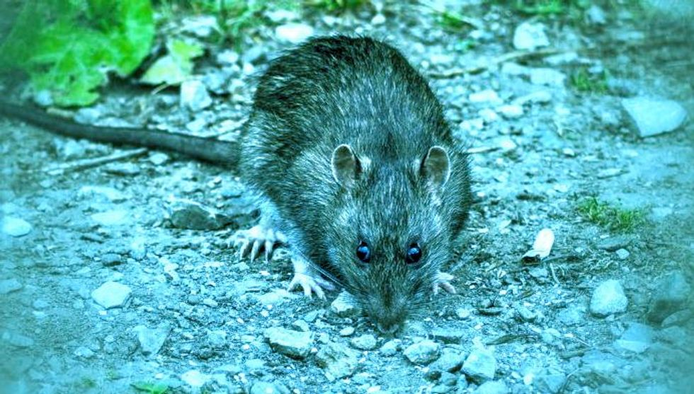 Diseased rat urine kills New Yorker in outbreak of rare illness