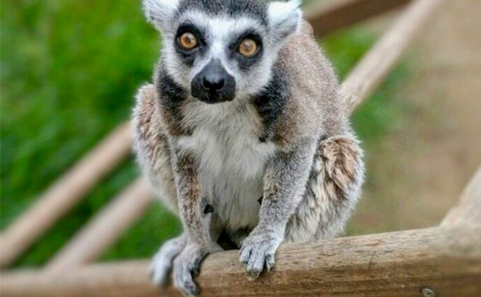 US man pleads guilty to stealing oldest-living ring-tailed lemur from zoo