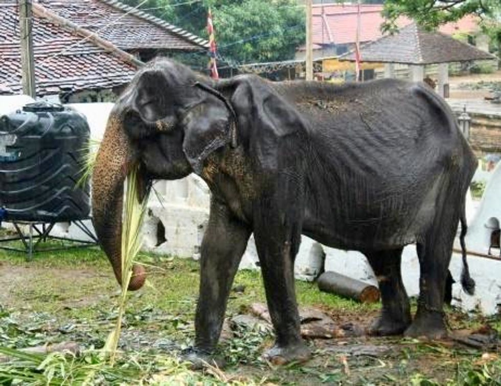 Elderly skeletal elephant spared Sri Lanka parade