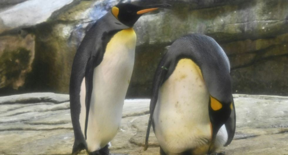 Gay penguins become a worldwide sensation -- and now have the chance to become real parents