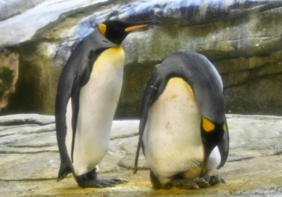 'Some penguins are gay. Get over it': Gay penguins adopt egg after trying to hatch stone
