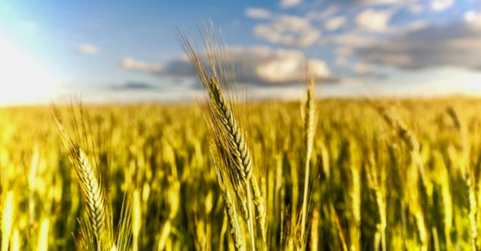 New research warns severe climate-related droughts could threaten 60% of global wheat crop by 2100