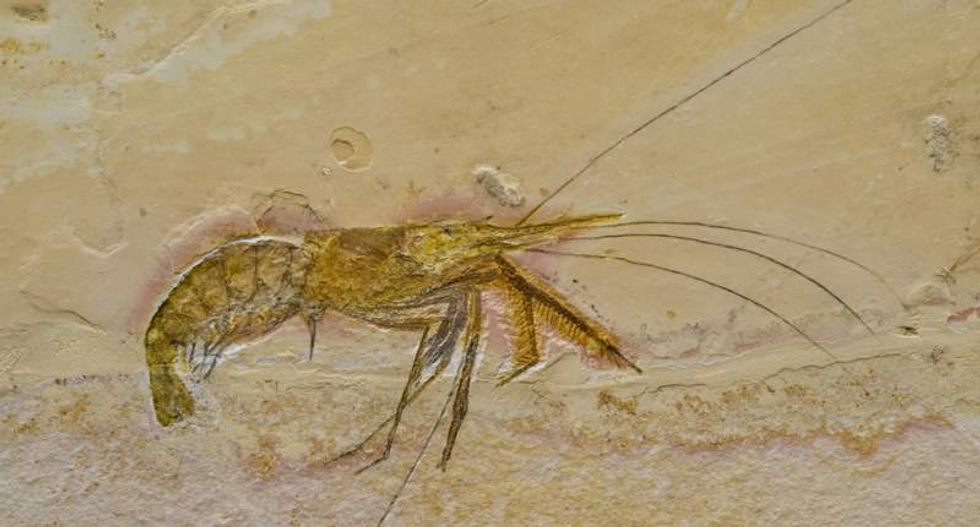Shrimp-like animal's 520 million-year-old fossil contains well-preserved nervous system