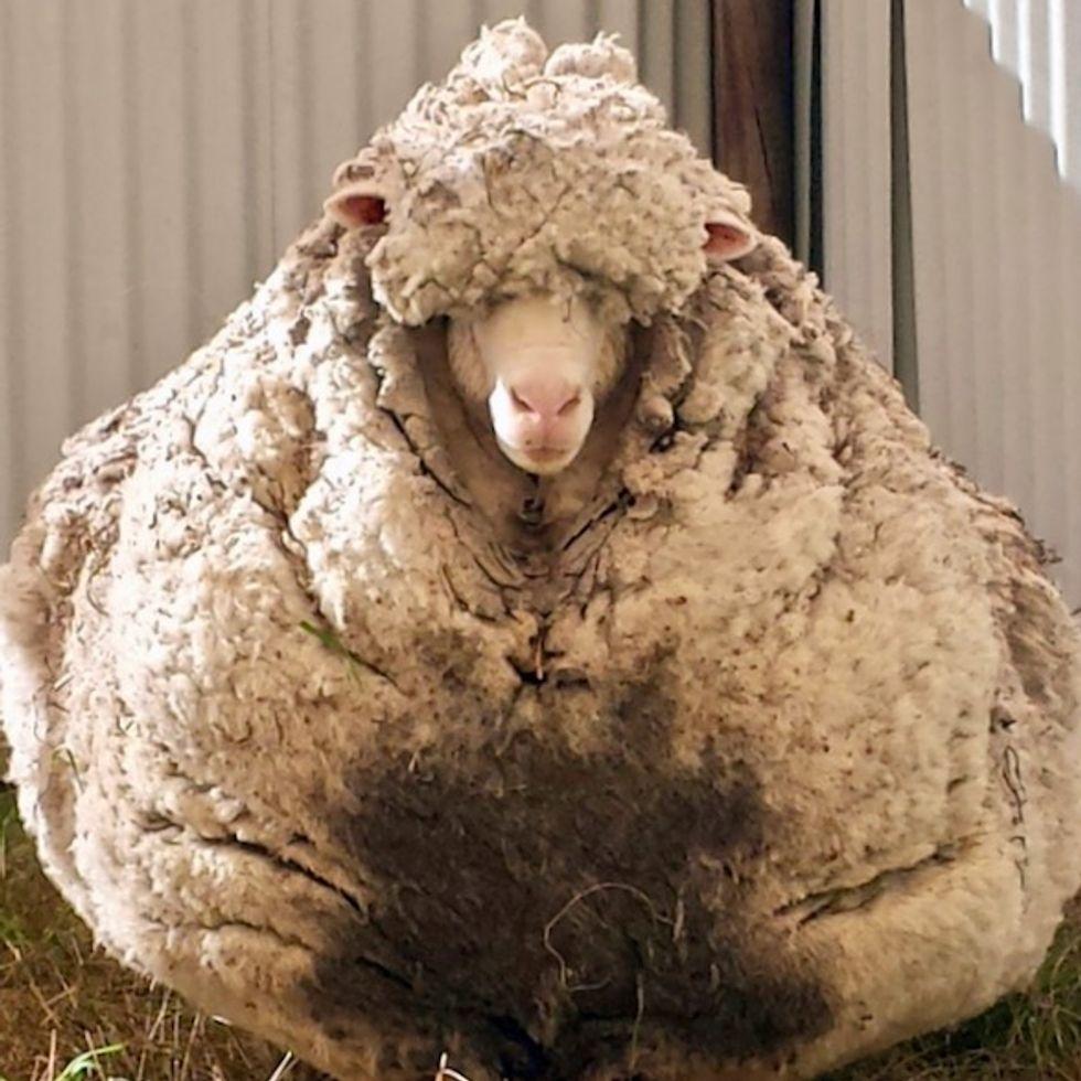 Chris the sheep, famed for record-breaking fleece, dies